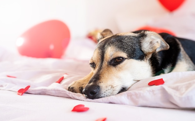 赤い風船でバレンタインデーのベッドのために飾られた子犬