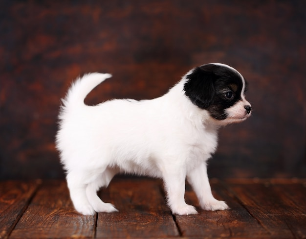 Puppy papillon stand