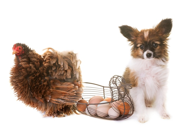 Puppy pappillon dog and chicken