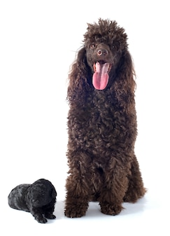 Puppy poodle and adult