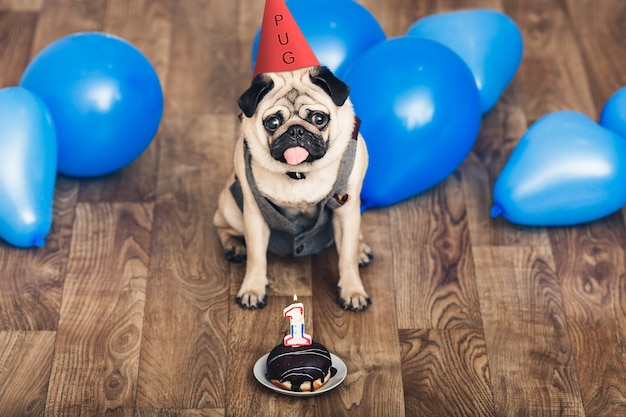 Puppy pug on birthday with a hat, blue balls and a cake.