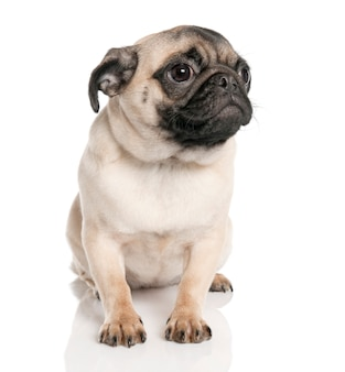 Puppy pug sitting with 7 months old. dog portrait isolated