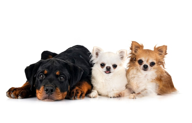 Puppy rottweiler and chihuahuas in front of white background