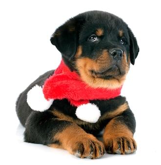 Puppy rottweiler christmas