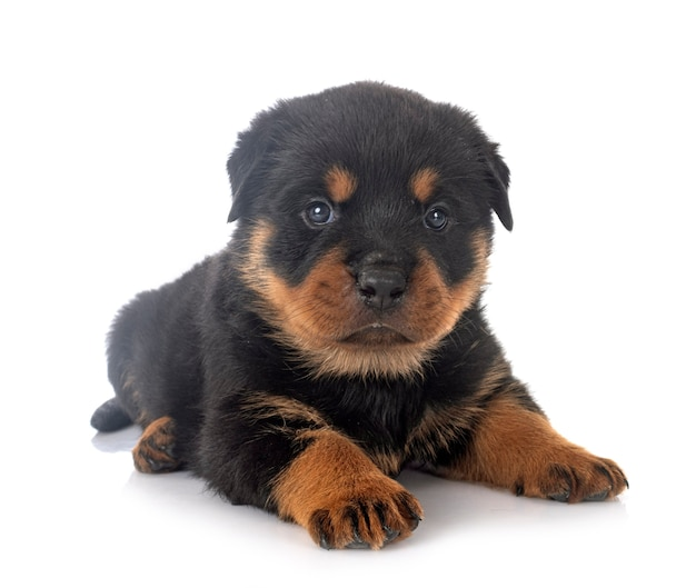 Puppy rottweiler in front of white wall