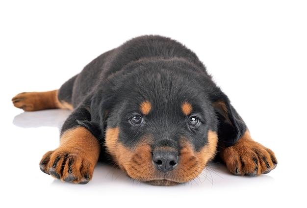 Ротвейлер щенка на белом фоне
