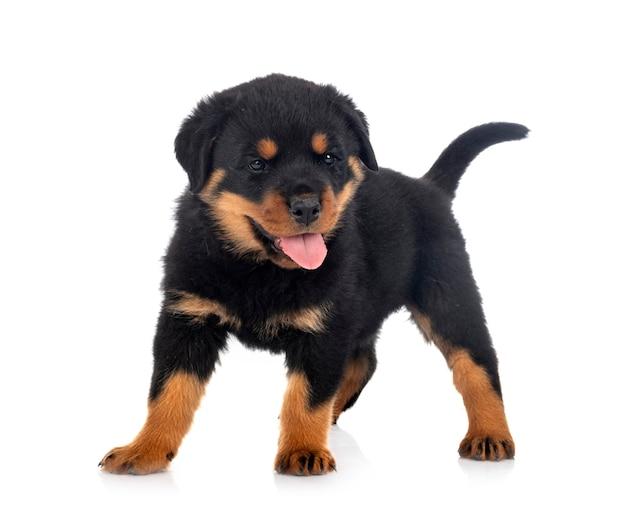 Ротвейлер щенок на белом фоне