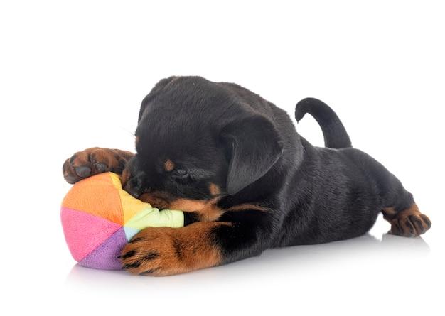 Ротвейлер щенок перед белой стеной