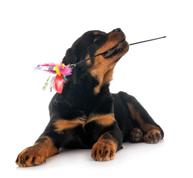 Ротвейлер щенок изолированные