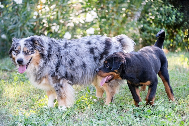 Puppy rottweiler playing with australian shepherd in the nature in summer