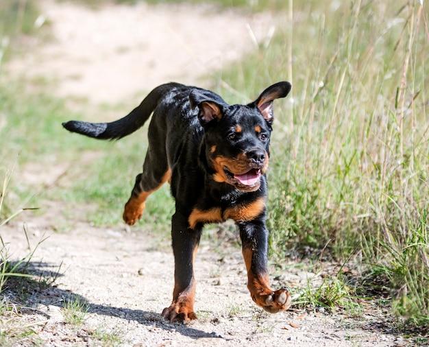 Ротвейлер щенок работает осенью на природе