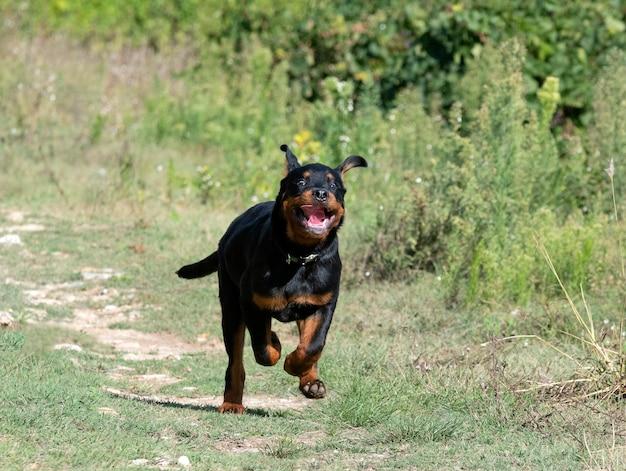 Ротвейлер щенок работает на природе летом