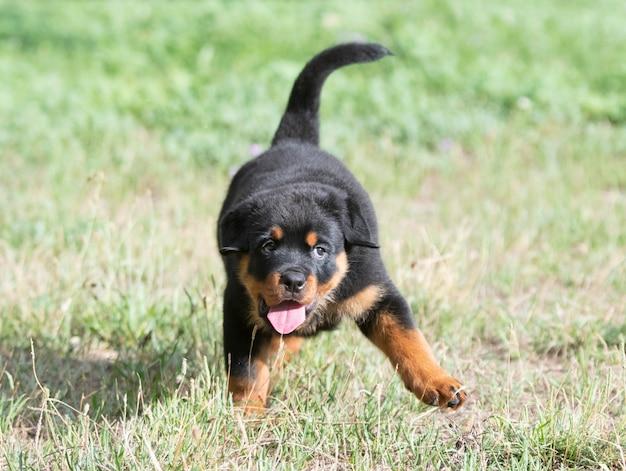 Puppy rottweiler running in the nature in summer