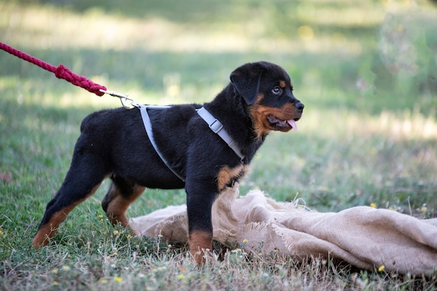 Puppy rottweiler training in the nature in summer