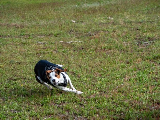 초원 위를 빠르게 달리는 강아지. 흰색, 갈색, 검은색 개는 풀밭에서 매우 빠르게 실행합니다.