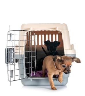 Puppy russkiy toy in kennel