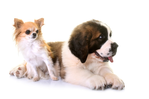 강아지 세인트 버나드와 치와와