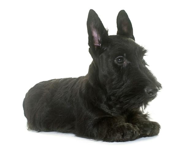Puppy scottish terrier