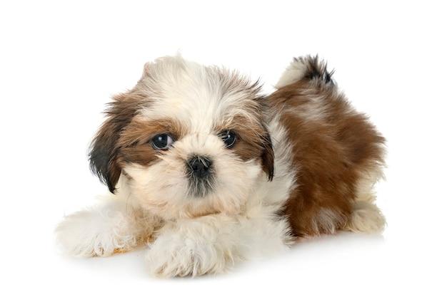 白で隔離の子犬シーズー