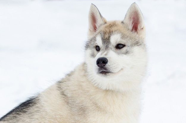 Puppy of siberian husky breed. husky dog has beige and black coat color