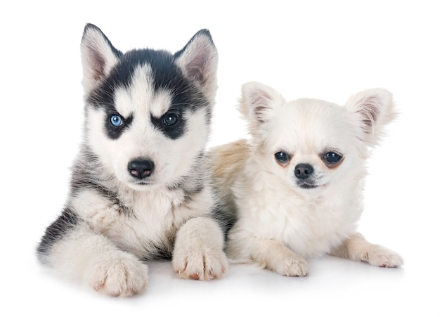 Puppy siberian husky and chihuahua