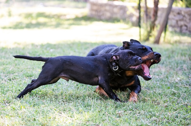 Puppy staffordshire bull terrier and beauceron playing in a garden