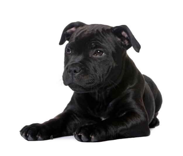 Щенок стаффордширского бультерьера с 2 мес. портрет собаки изолированный