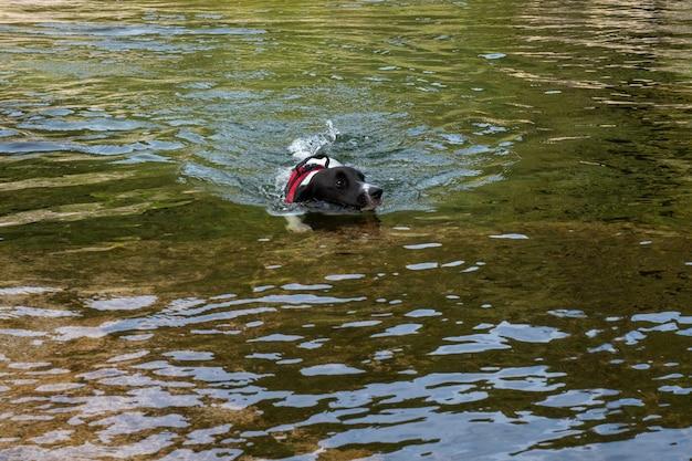 晴れた日に湖で泳ぐ子犬。ラグゴンで泳ぐ黒と白の犬。