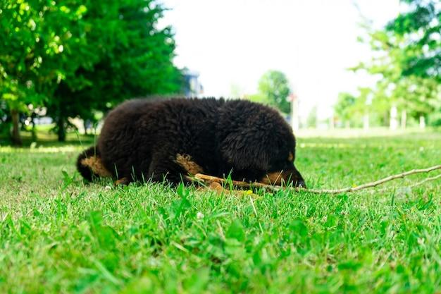 Щенок тибетского мастифа кусает палку, лежащую на траве. солнечный день.