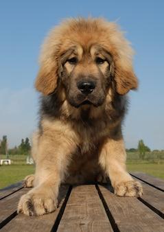 子犬チベットマスチフ