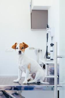 獣医の担架で待っている子犬