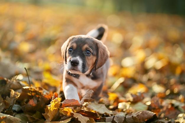 화려한 단풍에 걷는 강아지.