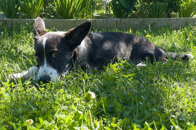 Puppy welsh corgi cardigan is lying on the grass. a pet. a beautiful thoroughbred dog. the concept of the artwork for printed materials. article about dogs. a small puppy on a walk . corgi dog. green.