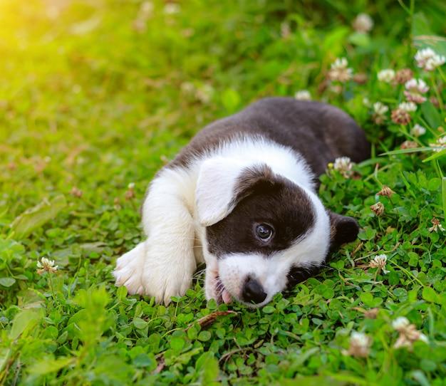 Щенок вельш-корги кардиган лежит на траве
