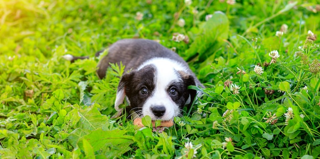 Щенок вельш-корги кардиган лежит на траве.