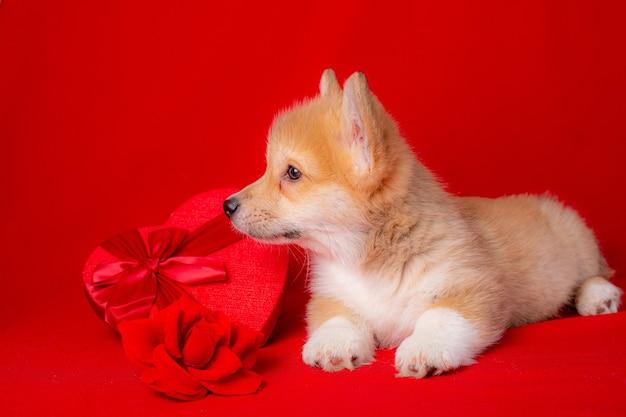 Щенок вельш-корги возле красной коробки в форме сердца