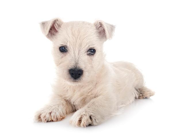 白い背景の前に子犬ウエストハイランドホワイトテリア