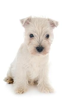 白の前に子犬ウエストハイランドホワイトテリア