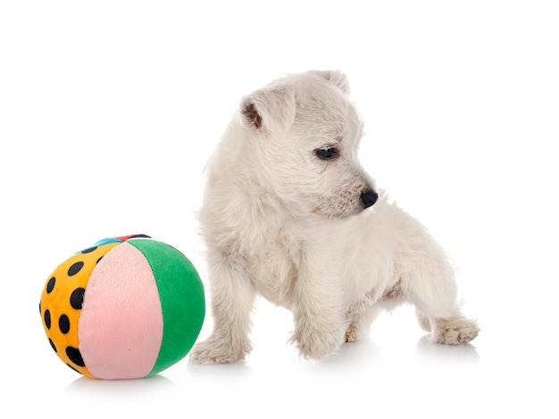 分離された子犬ウエストハイランドホワイトテリア
