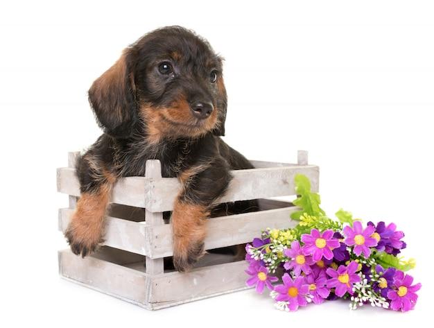 Puppy wire-haired dachshund