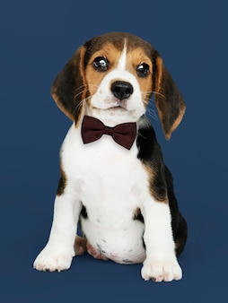 Puppy with bow tie