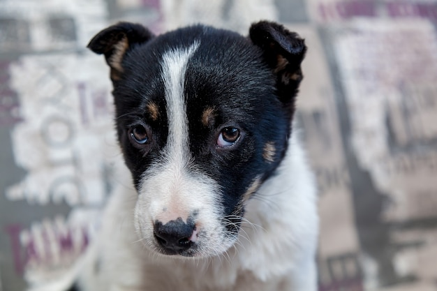 A puppy with sad eyes lying on the sofa looks at the owner with a kindly look.