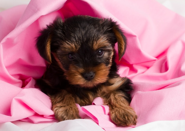 Puppy yorkshire terrier in studio close-up