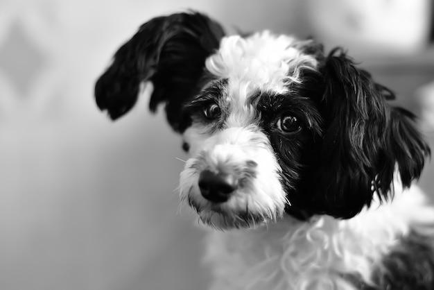 Портрет чистой породы китайская хохлатая собака на черном фоне