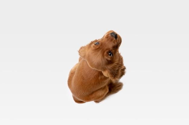 クレイジーな純粋な若者。イングリッシュコッカースパニエルの若い犬がポーズをとっています。