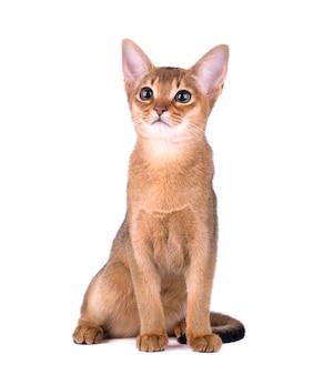 純血種のアビシニアンホワイトスペースに分離されました。分離されたかわいい遊び心のある子猫