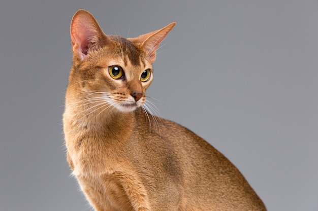 Purebred abyssinian young cat portrait
