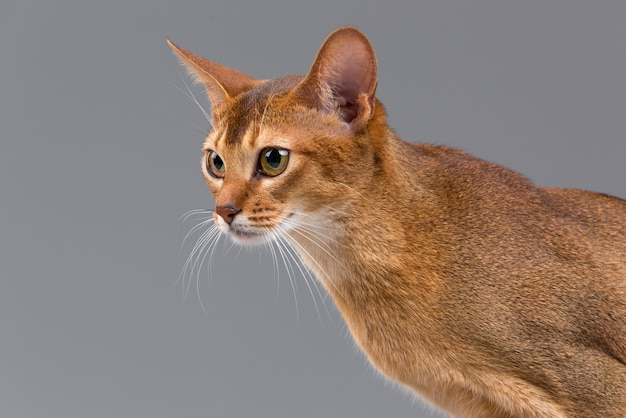 Чистокровный абиссинский портрет молодой кошки