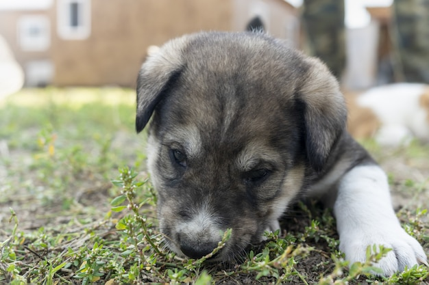 A purebred alabai puppy eats grass funny photo with puppies playing with small dogs breeding of