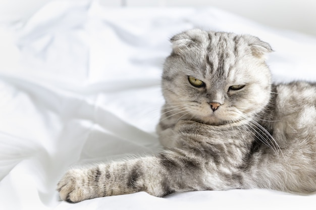 흰 침대에 있는 순종 아름다운 고양이 스코티시 폴드 고양이는 등에 누워 푹신한 모습을 보여줍니다